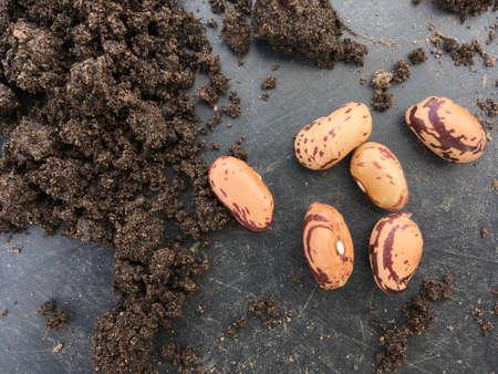 Borlotti bean seeds ready for planting