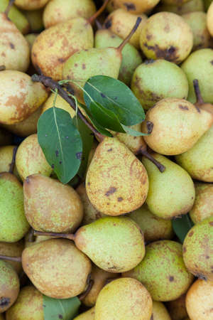 Background of small yellow pears often used for juicing