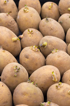 Background of seed potatoes - variety is Maris Piper