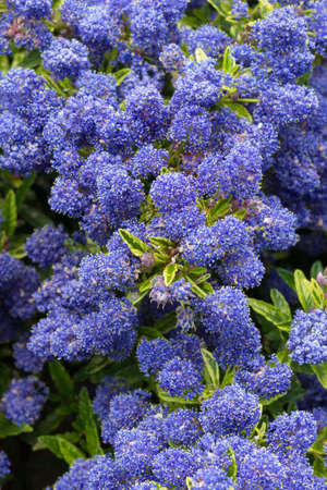 Variegated Ceanothus plant in flower - variety is Silver Surprise 스톡 콘텐츠