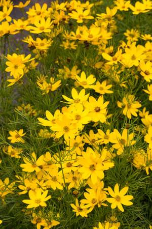 Background of Coreopsis verticillata - variety is Zagreb Stock Photo