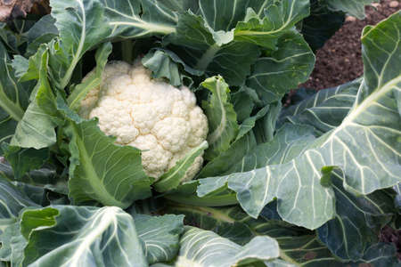 Close up of a cauliflower growing on an allotment - copy space provided Stock fotó