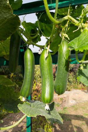 Mini cucumbers hanging from a plant growing in a greenhouse - variety is Tiny Tot 免版税图像