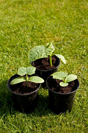 Small cucumber plants in plastic pots