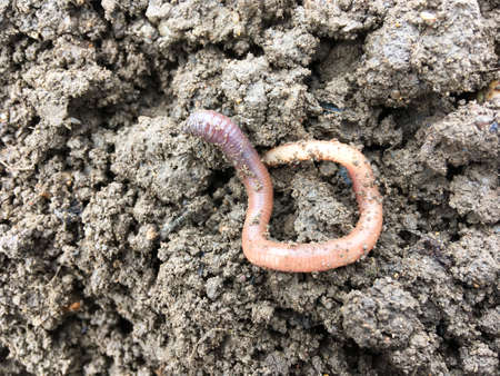 Earthworm on a soil background