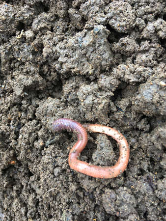 Earthworm on a soil background - copy space provided