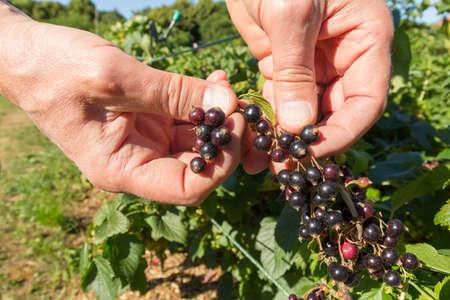 Gardener harvesting blackcurrants from a blackcurrant bush
