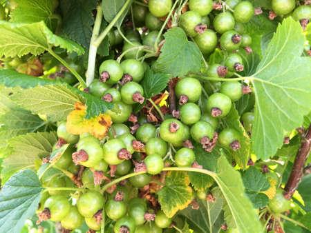 Unripe blackcurrants on a blackcurrant bush Banco de Imagens