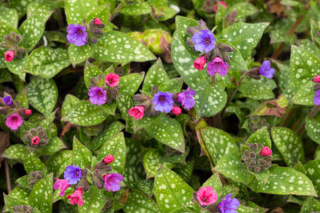 Pulmonaria officinalis also known as Common Lungwort Stock fotó