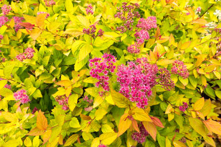 Background of Spiraea japonica - Golden Princess