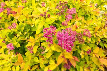 Background of Spiraea japonica - Golden Princess