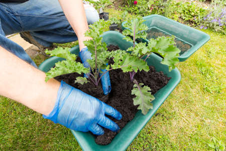 Planting kale plants in to a garden container