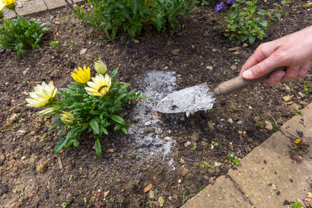 Gardener spreading ash to soil to act as a natural fertilizer 写真素材