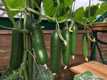 Mini cucumbers hanging from plant which is growing in a greenhouse