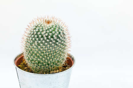 Small and round cacti plant in pot against a white background