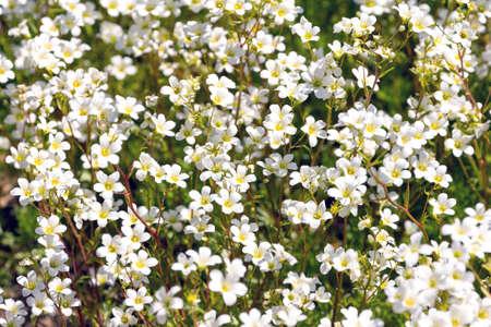 Springtime Flowers - Background of white Saxifrage plant
