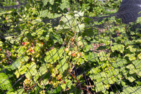 Redcurrant bush covered with protective netting whilst fruit ripens