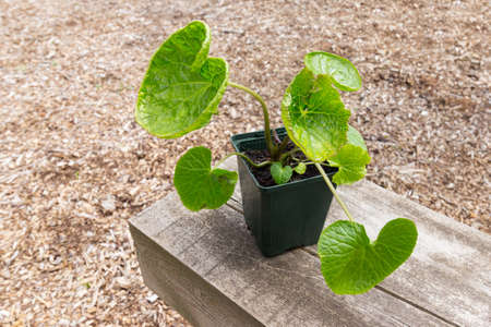Wasabi plant growing in small pot - also known as Japanese horseradish Archivio Fotografico