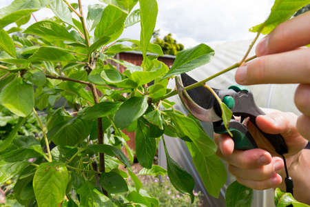 Gardener pruning a plum tree in the summer months - variety is Victoria plum Banque d'images - 150235488