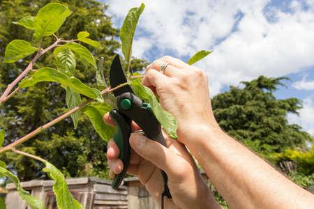 Gardener pruning plum tree growth in the summer - variety is Victoria plum