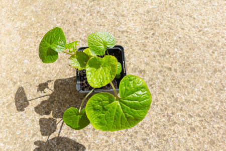 Wasabi plant growing in container - copy space provided