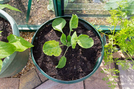 Growing vegetables in containers - Brussels sprout plant growing in a container - variety is Groninger