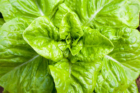 Background and close up of a green lettuce heart