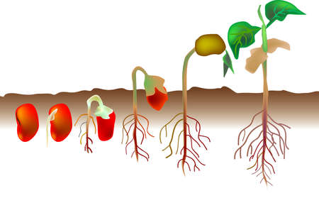 vector illustration for a growing process from a red seed becomes a plant, biological environment.