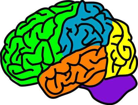 vector illustration for a anatomy brain in separate color Illustration