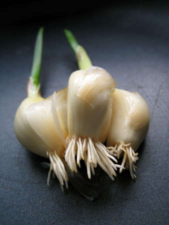a close up view for the roots of a growing garlic sprout photo