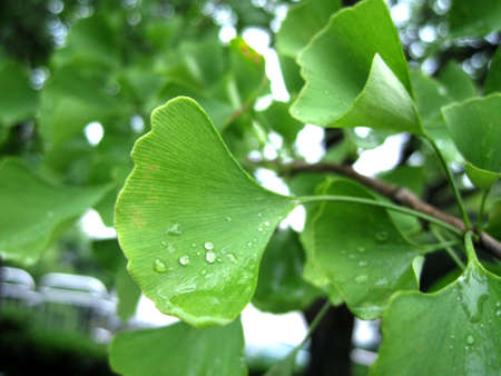 grew: a morning view for gingko leaves with water drop