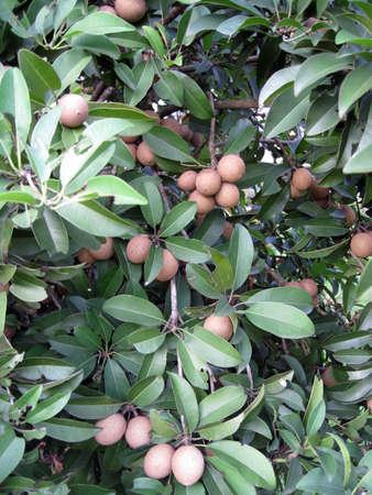 a shoot for tropical fruit � ciku tree photo