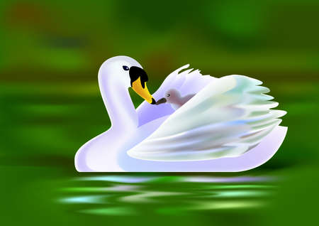 swimming swan: a mother swan put a little swan on her back and swimming in a pool. Stock Photo