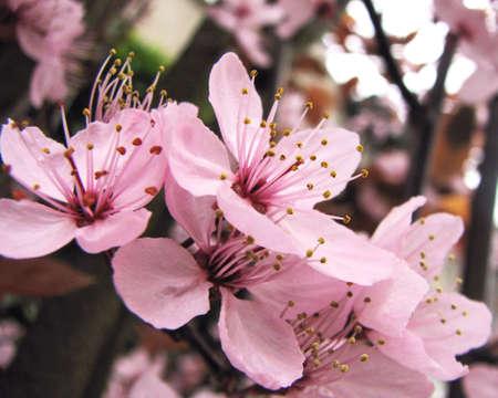 roze: Pink blossom Stock Photo