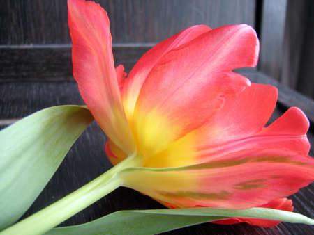 solitair: Solitair Dutch Tulip
