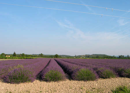 dutch clover: Lavenderfield in the Provence Stock Photo