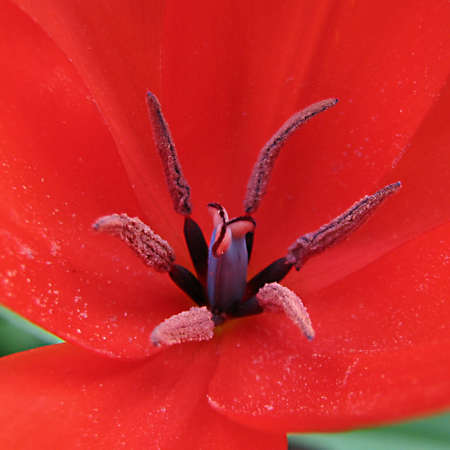 Tentacles of a tulip photo