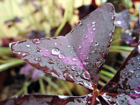 oxalis: Oxalis Triangularis