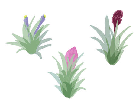 It is a stylish illustration of a flowered air plant.