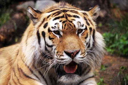 ussuri: Facing big tiger in the Far East Stock Photo
