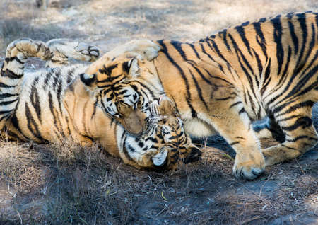 ussuri: Two tigers play and fight Stock Photo