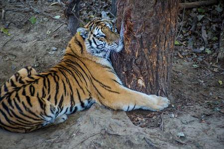 ussuri: Tiger is hugging a tree