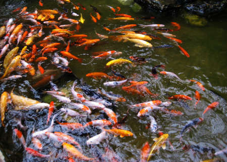 Koi Fish Swimming Stock Photo - 8628023