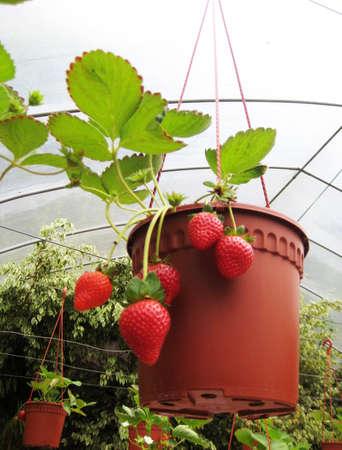 Strawberry farm photo