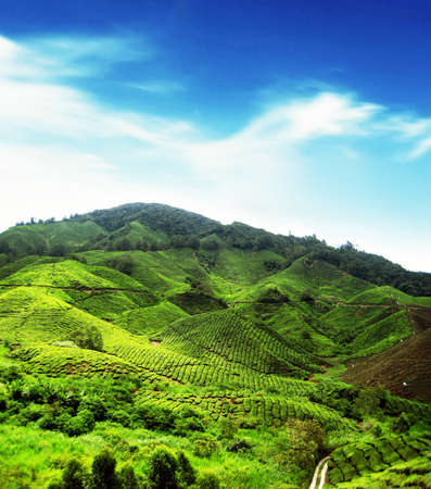 Tea Plantations at Cameron Highlands, Malaysia photo