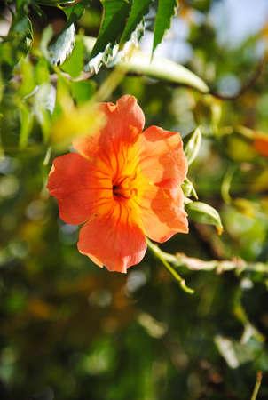 Beautiful hibiscus in garden