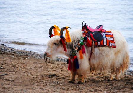 yak: Yak in tibet
