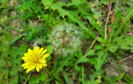 dandelion and yellow flower Stock Photo
