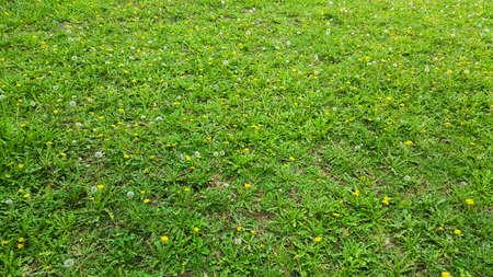dandelions and yellow flowers Stock Photo
