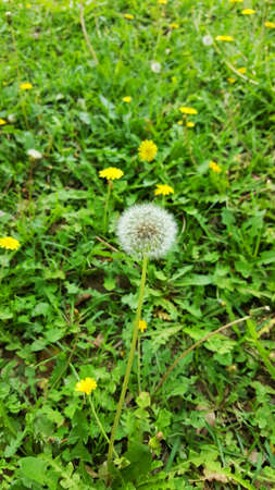 dandelion and yellow flowers